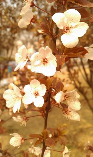 春景,白花