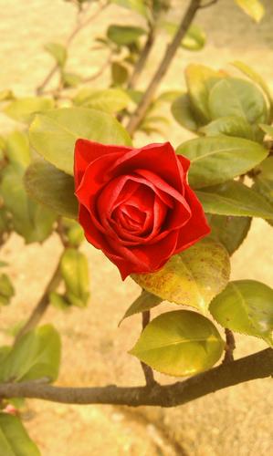 红花,春景
